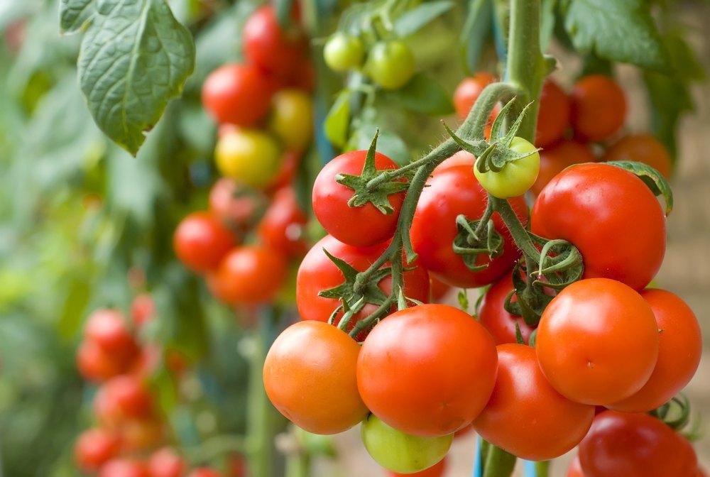 garden_tomatoes_tomatos_red_orange_vegetable_gardening_backyard_shutterstock_49492744
