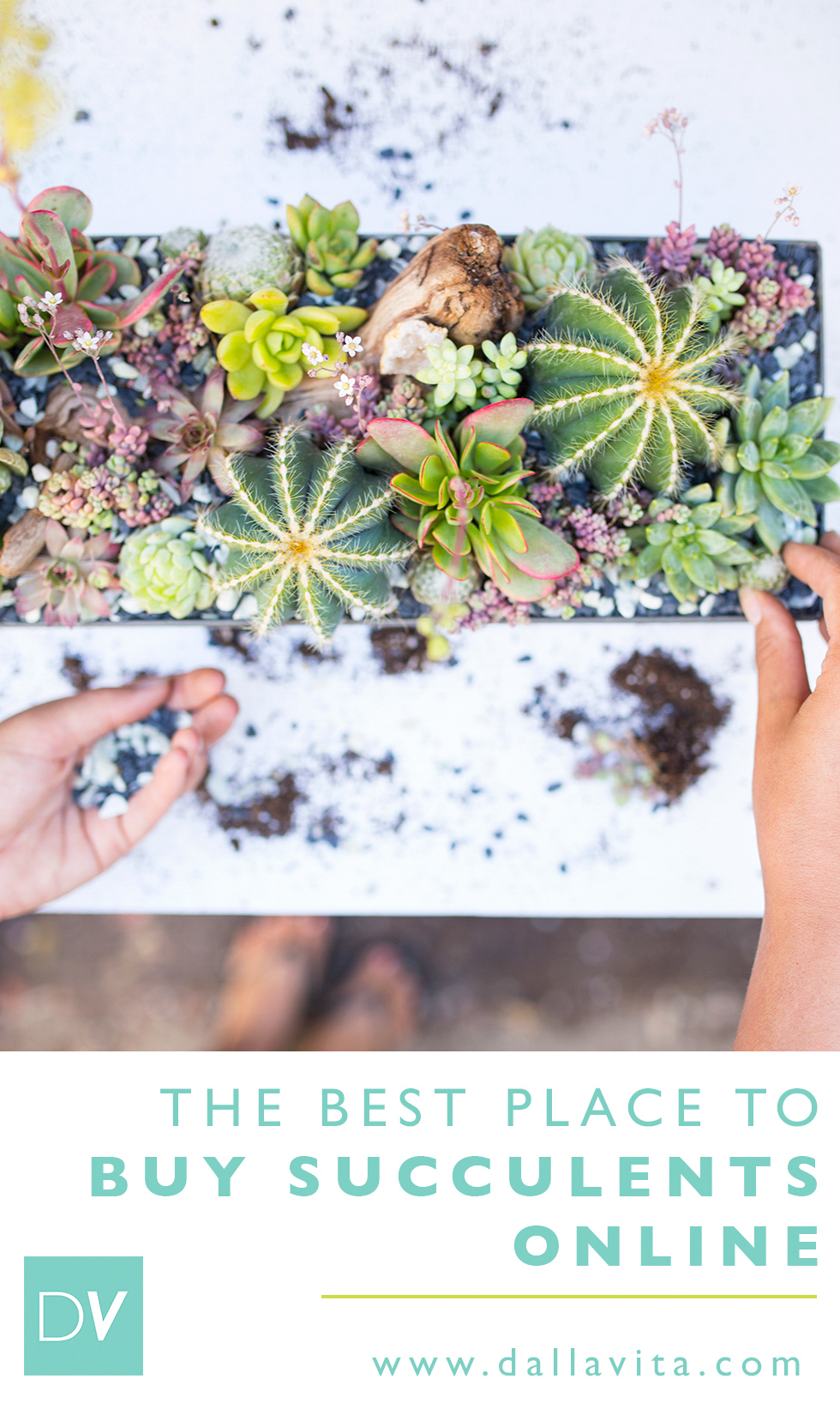The Best Place to Buy Beautiful Succulents Online - Dalla Vita