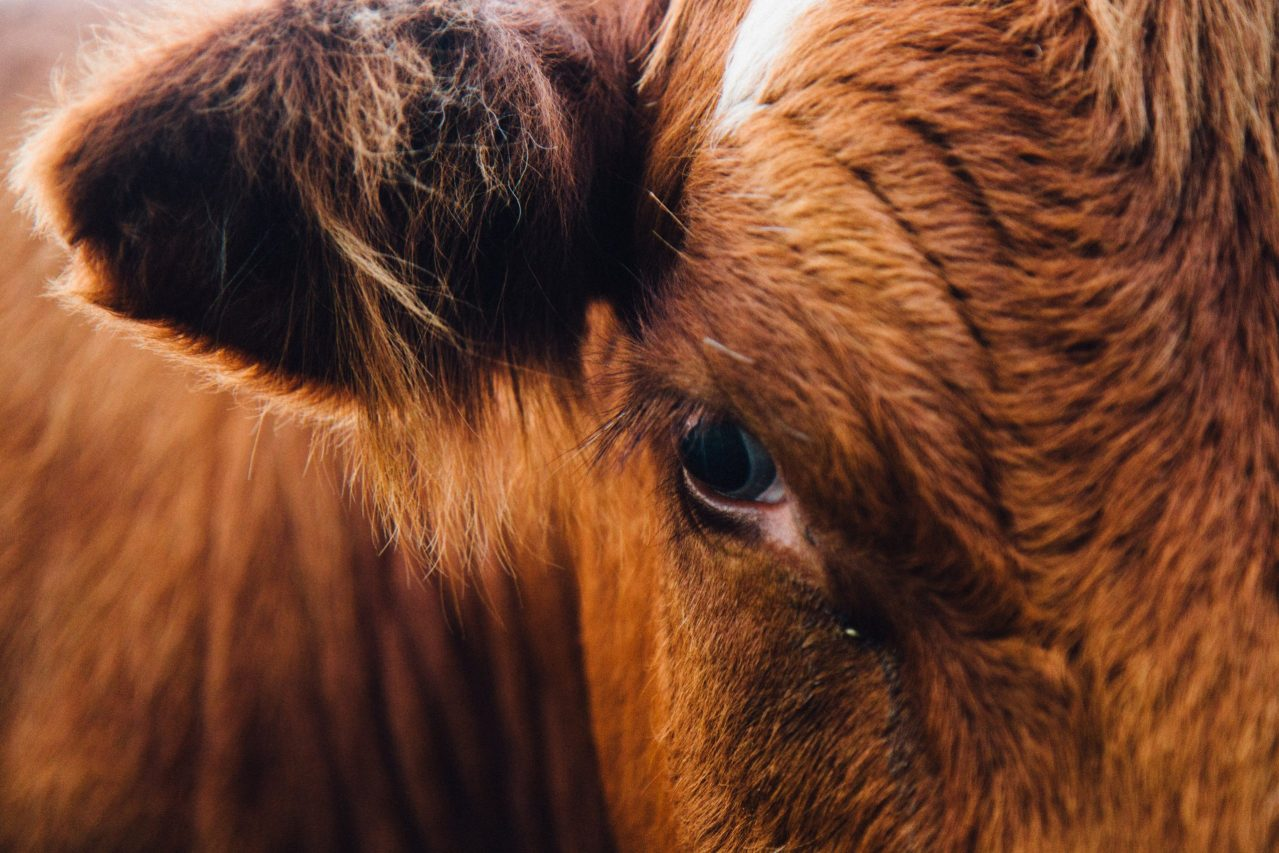 A brown cow looking towards the camera with one eye.