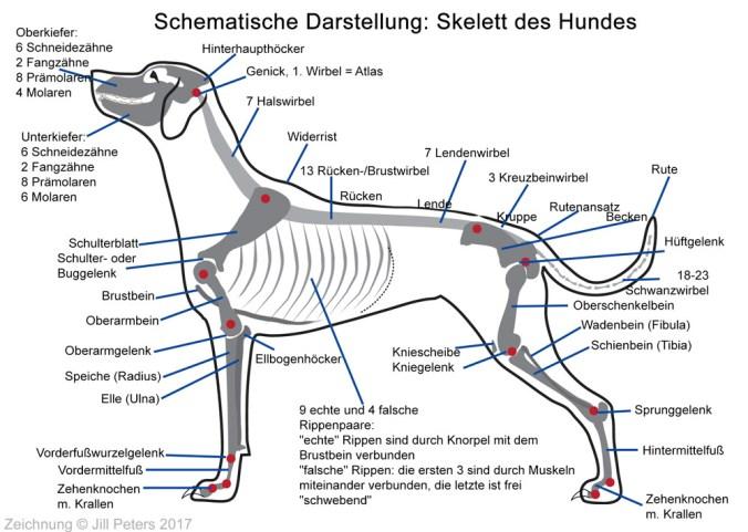 Schematische Darstellung: Skelett des Hundes