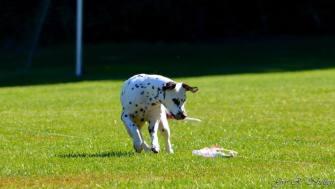 Flexi prøver seg på lure coursing (Running-Spot's Absolute Amazing)