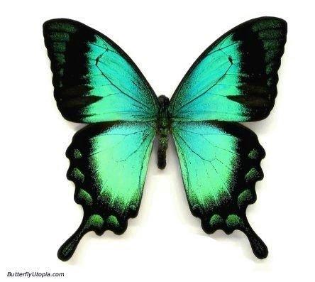 171-aqua-butterfly