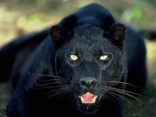 black-panther1