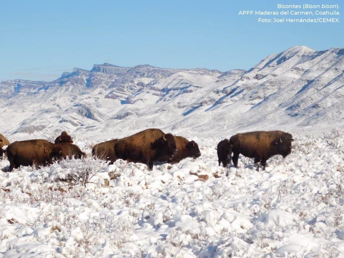 Después de 100 años de ausencia, el bisonte americano regresa a México -  National Geographic en Español