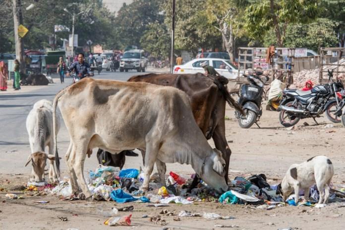 vacas abandonadas India