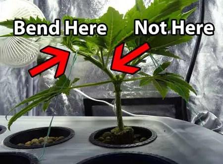 修剪大麻中的常见错误——从零单种(50)