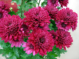 Best Chrysanthemums in UAE