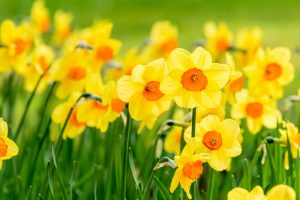 Best Daffodils in UAE
