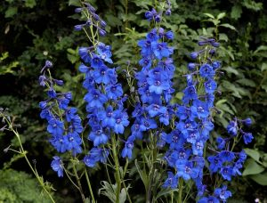 Best Delphinium in UAE
