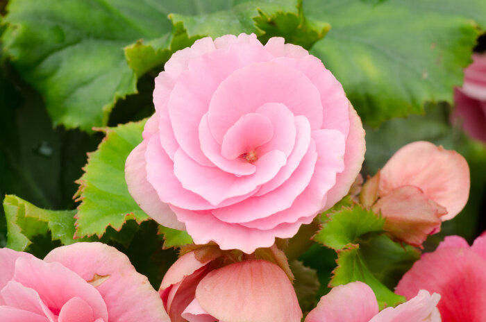 Pink Begonia: Photo Credit FlowerMeaning.com