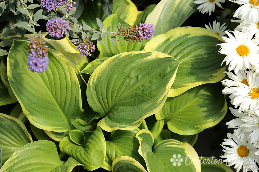 'Royal Wedding' Hosta