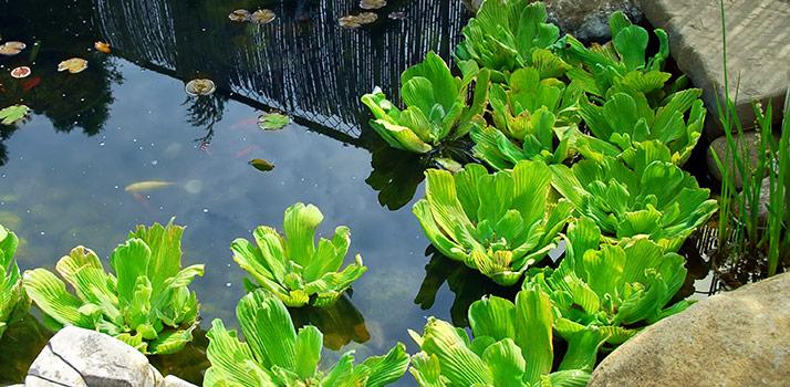 water-lettuce