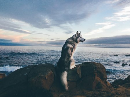 parler-chien-loup-communication -animale