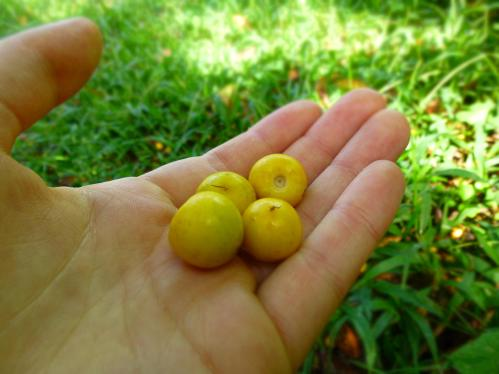 Beautiful & delicious nance fruits! Thye just fall to the ground when they're ripe & you pick them up and eat around the pit.
