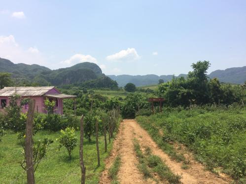 Discovering Cigars on Horseback in Viñales Cuba cigar tobacco plantation