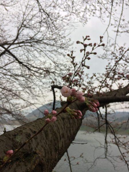 Korean Cherry Blossoms in Boseong, South Korea