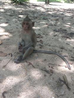 Macaque Monkey Cambodia Confused Looking Away