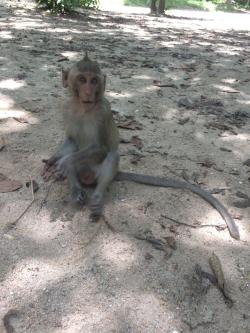 Macaque Monkey Cambodia Confused