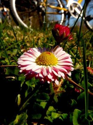 Common Daisy April 24