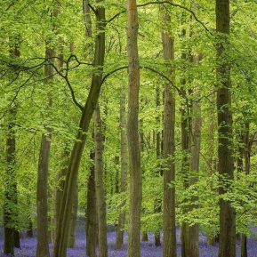 Chiltern Woodland bluebells Landscape Photography
