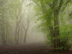 Landscape photography of Chiltern woodland in mist.