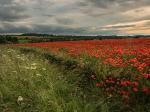 Cotswold Poppies