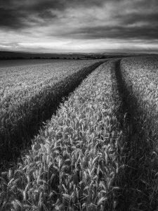 Barley Field Landscape Photography