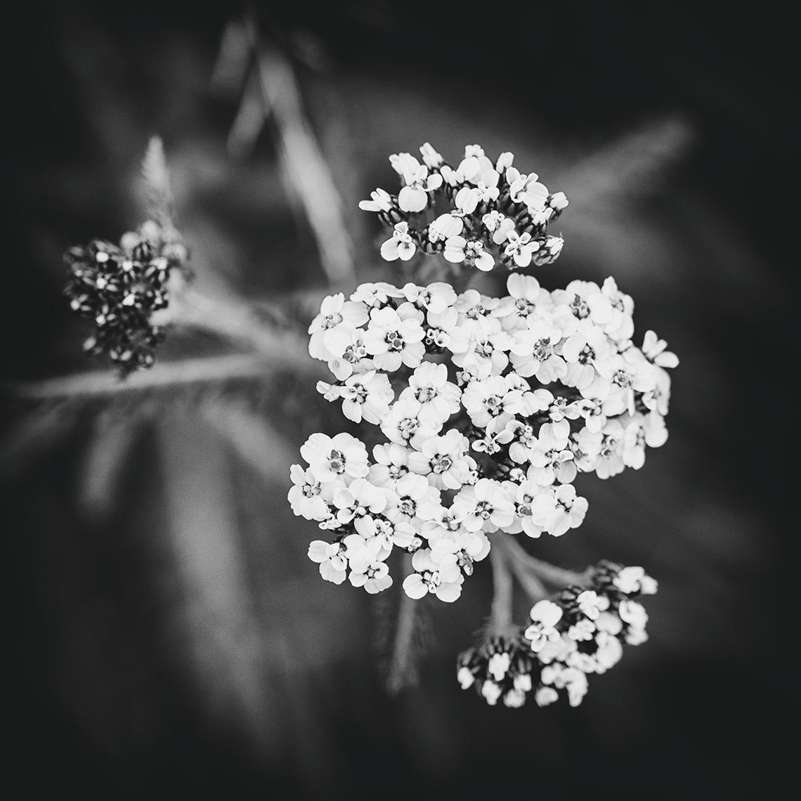 Landscape Photography of yarrow
