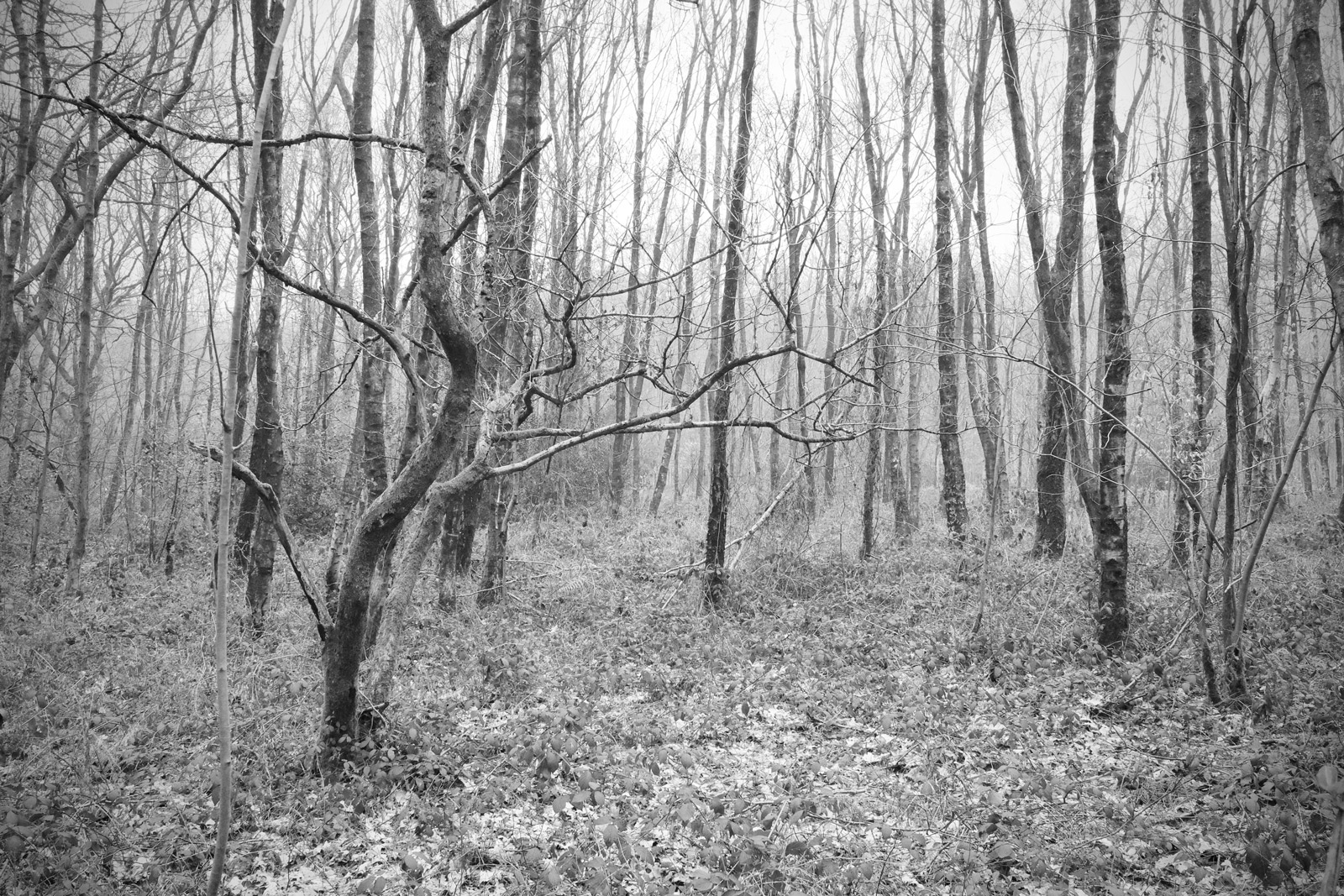 Clowes Wood in Black and White
