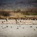 Ulcinjska solana: Flamingosi su danas tu, sjutra – ko zna…