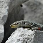 Prokletijski gušter, simbol posebnosti prirode Crne Gore