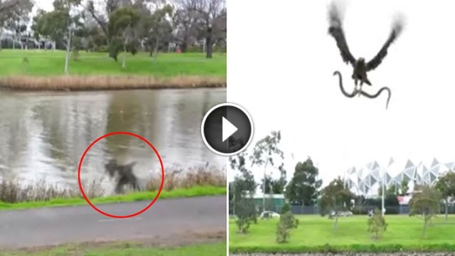 Image result for A Flying Hawk Drops Live Snake on Family Barbecue. Scary!