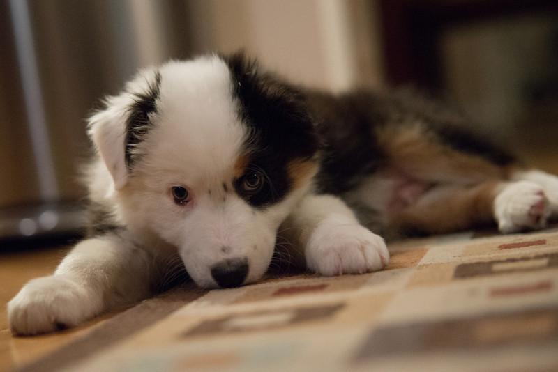 Easton the Australian Sheppard Pupppy