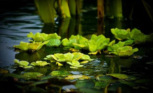 Lilies in a pond, Winnipeg, Canada. Photograph by Seán Ó Domhnaill via Flicker