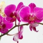 Отглеждане на орхидеи у дома