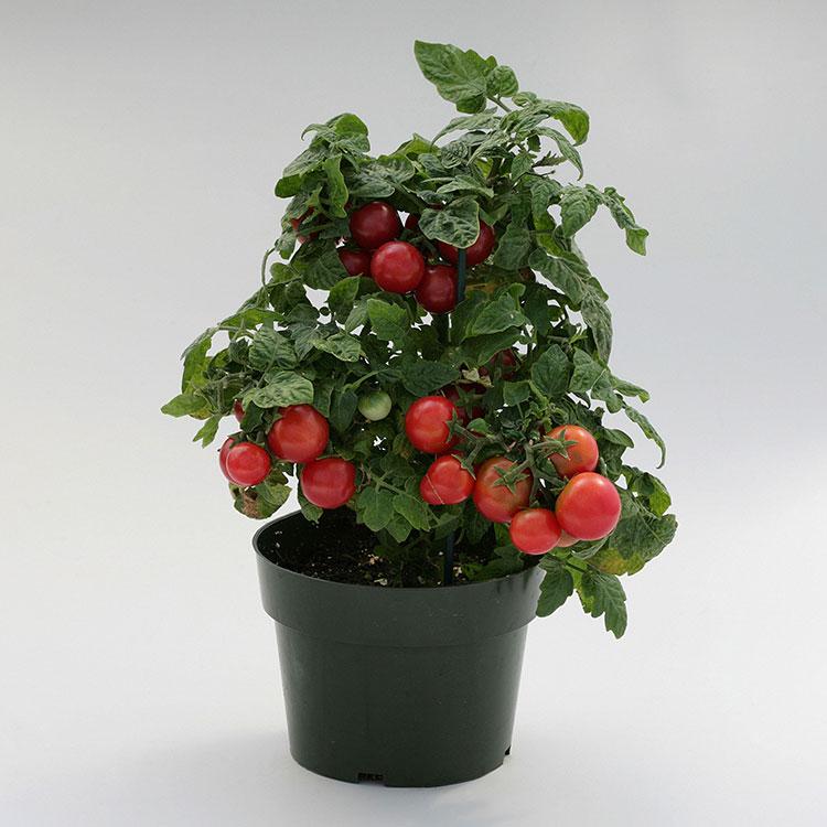 Отглеждане на чери домати у дома 3