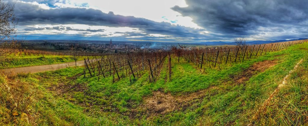 Vineyard in Alsace overlooking Bergheim