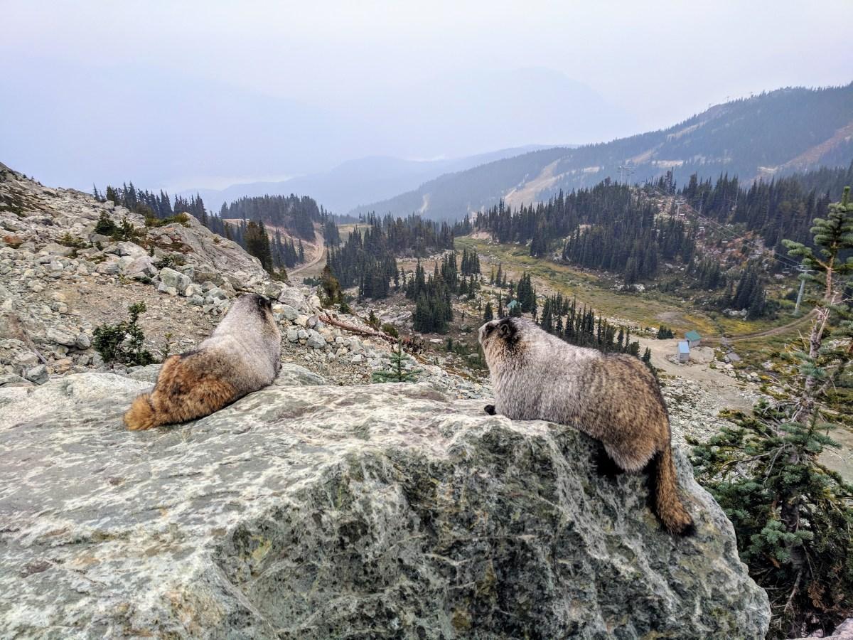 Majestic Marmots