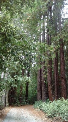 """""""מעגל פיות"""" של עצי רדווד לצד הדרך."""