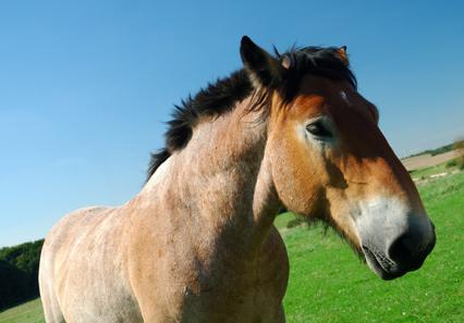 Ardenneshorse