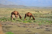 Only the second time I have saw camels since being here