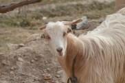 A Mizan goat checking me out