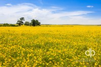 Fields of Golden Summer landscape photo by Dan Bourque