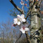 晩秋に咲く「冬桜」、秩父神社、長瀞(ながとろ)
