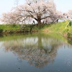 浅井の一本桜と発心公園の桜