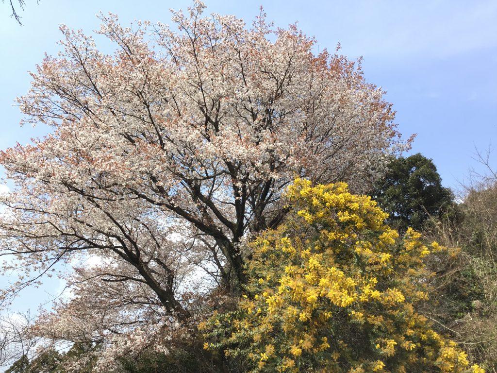 mimosa&sakura