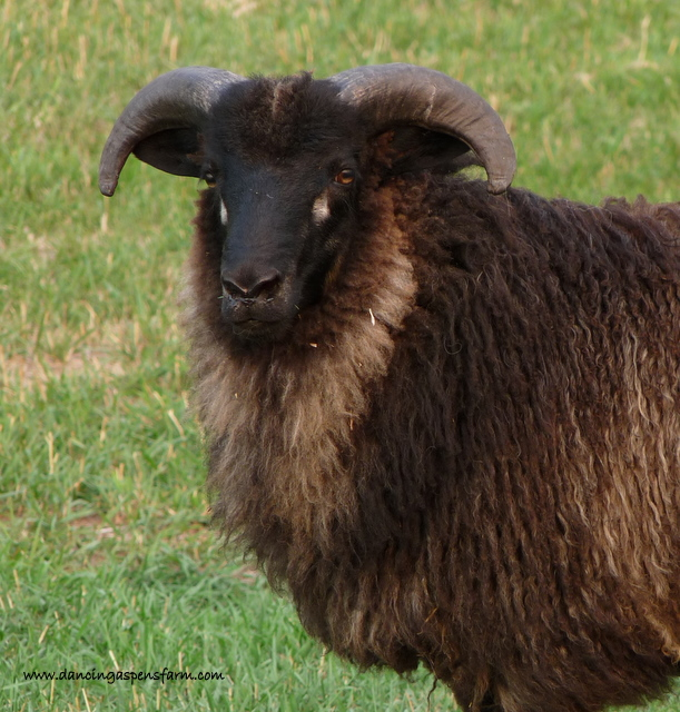 The kids named the new ram Blackfoot...