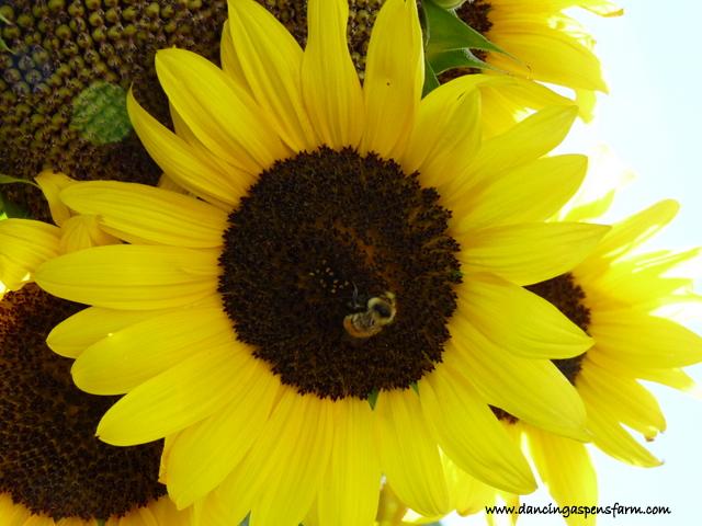 Little sunflower...
