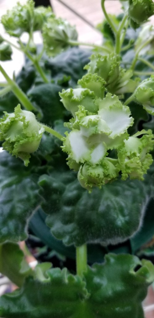 Standard size, white semi-double stars accented with a green frilled edge, near white+white+green.                                                                                                                                                                         Size/Growth Habit:  Green Standard Foliage, ruffled with a serrated edge, wavy