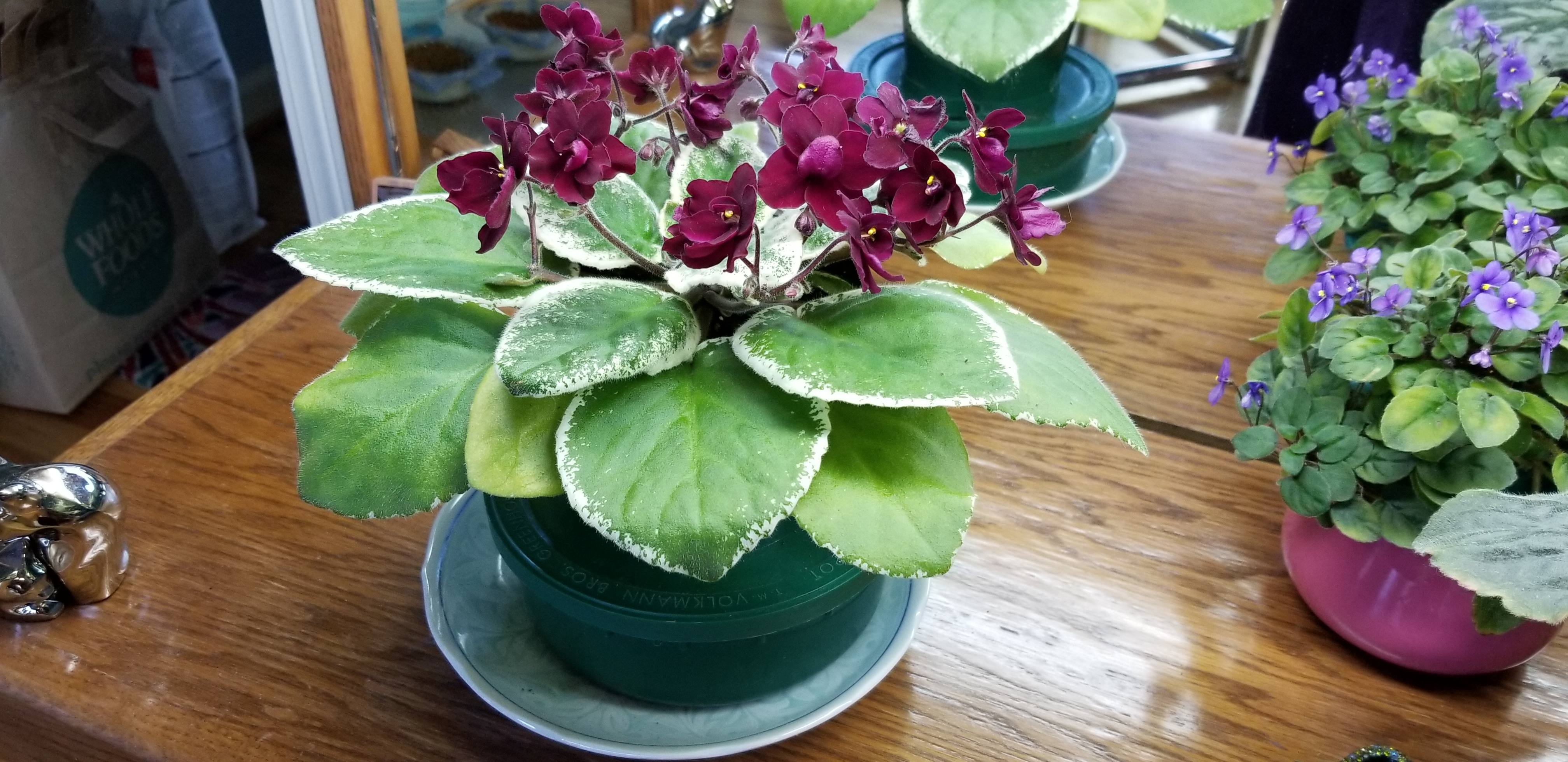 """Standard size, 1.5"""" blooms very deep red, semi-double pansy, variegated foliage flat leaf growth. AVSA#9708, 1992, introduced by Ken Stork"""